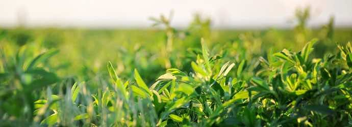 3 Common Misconceptions of Feeding Alfalfa to Horses