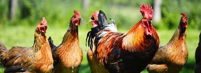 The Ins and Outs – Chicken Coop Bedding and Litter