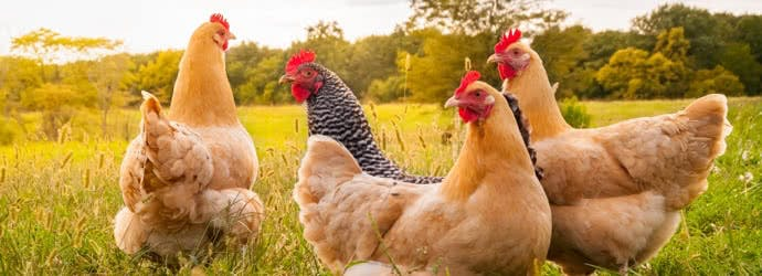 The Chicken Chick's® Ultimate Chick Brooder Checklist