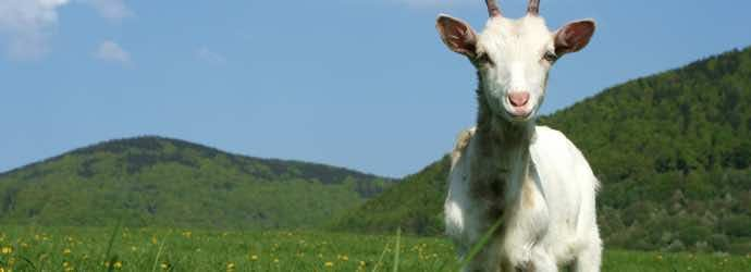 3 Nutritional Disorders to Consider When Feeding Goats