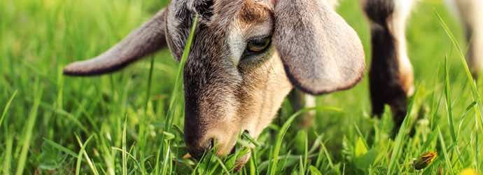 What Do My Goats Need in Their Diet to Be Healthy?