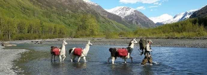 Llamas, the Ultimate Backcountry Hiking Partner?