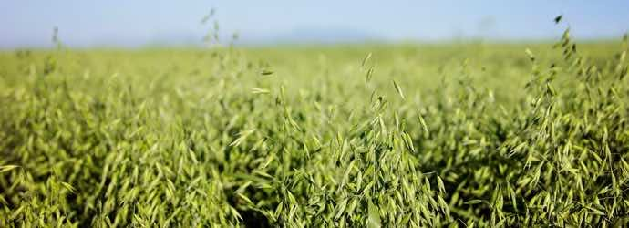 What Is Oat Grass Hay and How Can It Benefit Horses?