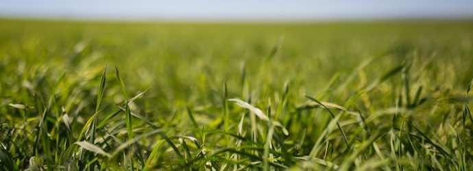 Orchard Grass, An Ideal Forage