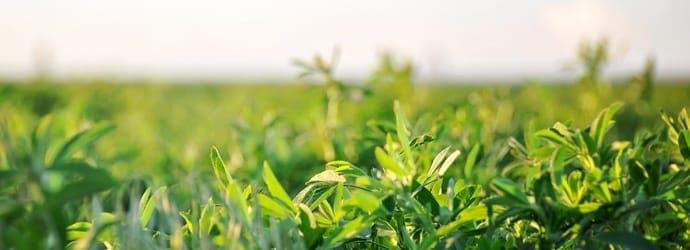 USDA Certified Organic Alfalfa forage options for horses