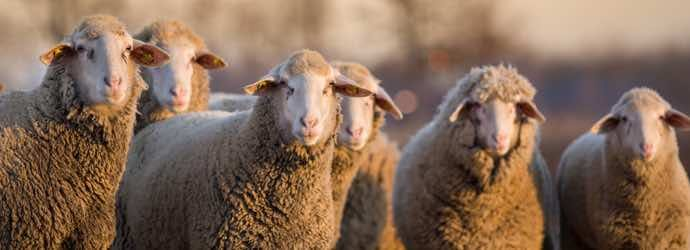 Feeding Sheep – What You Need to Know About Forage and Winter