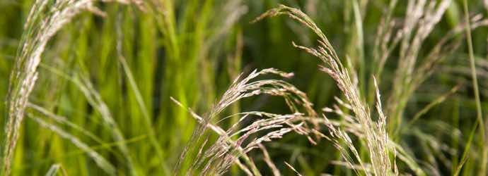 What is Teff Grass? Ideal Forage for Horses.